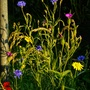Wildflowers in Evening Sun