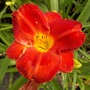 Bright red daylily