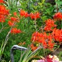 Crocosmia_lucifer