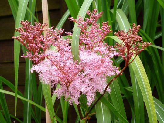 Filipendula rubra   Venusia Magnifica
