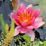 Water Lily (Nymphaea 'Aurora')