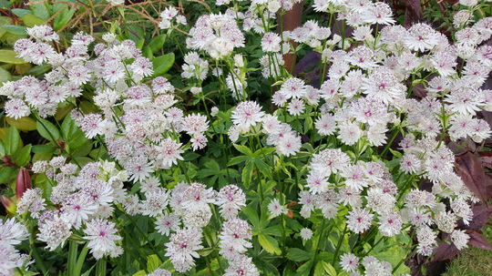 Astrantia Sunningdale variagated close up