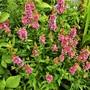Salvia Nemorosa' Friesland'