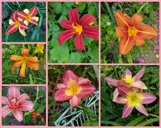 A few more Daylilies...