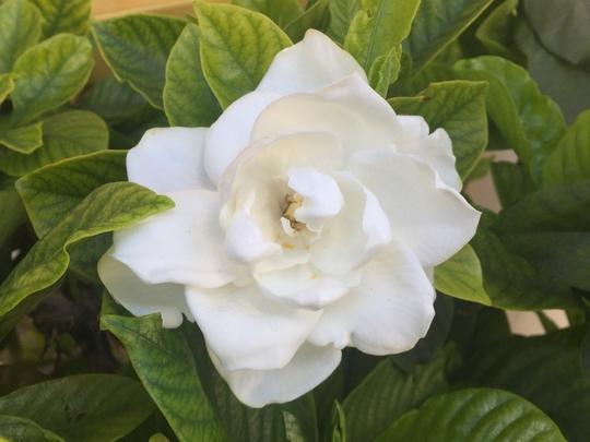 Gardenia jasminoides - Gardenia Flower (Gardenia jasminoides - Gardenia)
