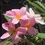 Plumeria 'Rose'  (Plumeria obtusa)