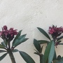Plumeria 'Hilo Beauty' (Plumeria 'Hilo Beauty')