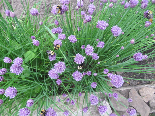 8274 bumblebees in the chives!