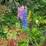 Delphiniums and Lysimachia... (Lysimachia punctata (Garden Loosestrife))