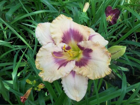 Cream/mauve daylily