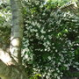 Philadelphus coronarius Aureus ( for my file) (Philadelphus coronarius (Mock Orange))