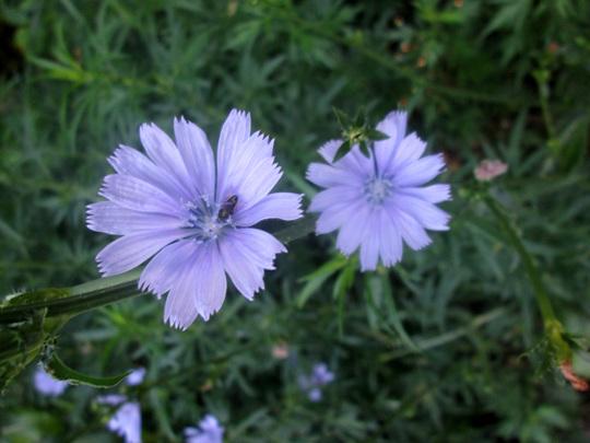 Wildflower - Chicory