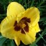 Yellow/red daylily 13/7/19