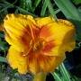 Yellow/orange daylily 13/7/19