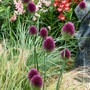 Allium_sphaerocephalon_.1