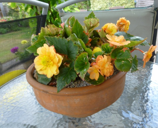 Bowl of Begonias