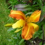 Orange_oneday_lily