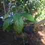 Avocado Seedling (Persea americana) (Persea americana (Avocado))