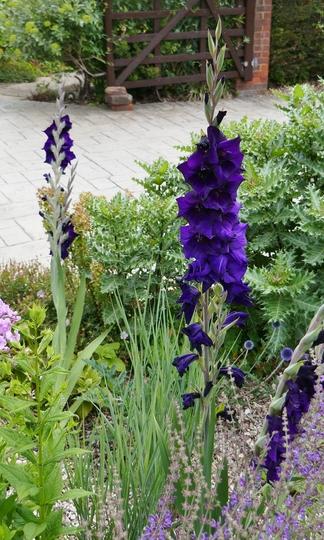 Gladiolus 'Purple Mate' - 2019 (Gladiolus)