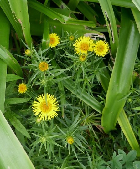 Buphthalmum salicifolium - 2019 (Buphthalmum salicifolium)