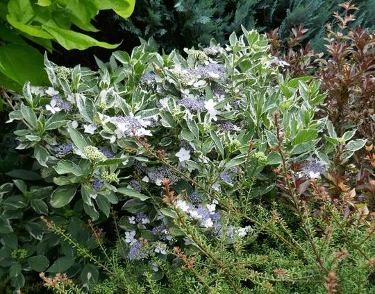 Hydrangea macrophylla 'Tricolor' - 2019 (Hydrangea macrophylla)