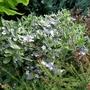 Hydrangea_macrophylla_tricolor_2019_copy