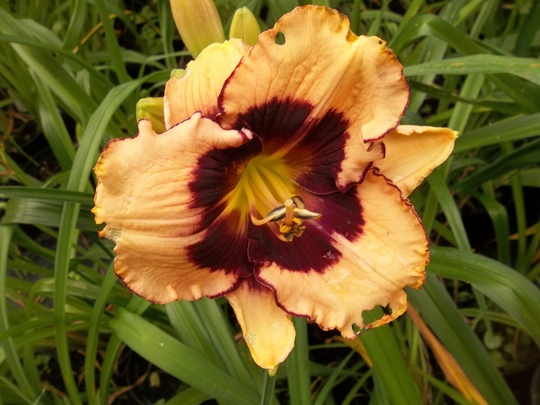 Peach/red daylily