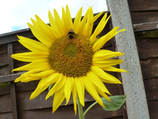 Sunflower  a gift from the birds