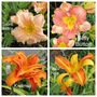 Daylilies opened over the weekend (Hemerocallis)