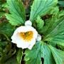 Anemone 'White Swan'
