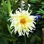 Cactus Dahlia.