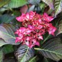 Hydrangea 'Red Angel'  (Hydrangea macrophylla (Hortensia))