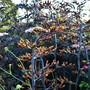 Phormium 'Platt's Black' flowers (Phormium tenax (New Zealand flax))