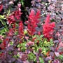 Astilbe arendsii 'Fanal' with Sedums