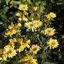 Leucanthemum 'Goldfinch'