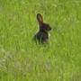 Rabbit seen on our walk this morning