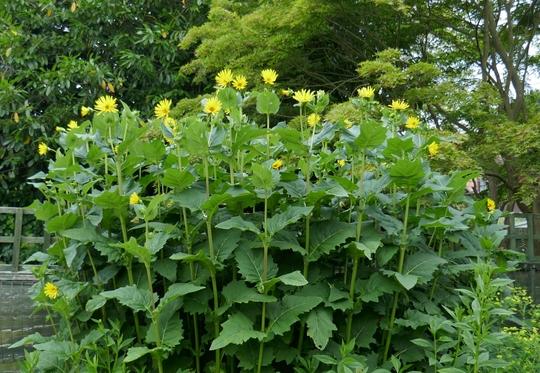 Silphium perfoliatum - 2019 (Silphium perfoliatum)