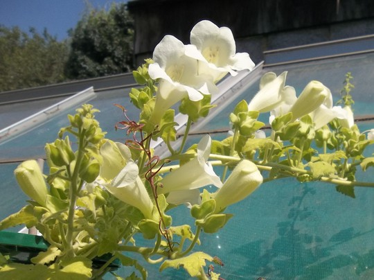 Maurandya 'Bridal Bouquet'