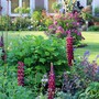 Lupin 'Masterpiece' Still Going Strong