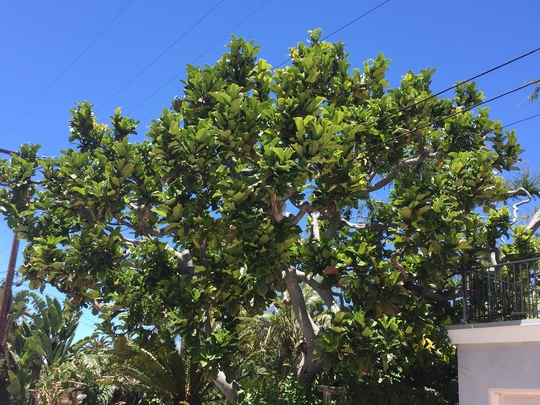 Ficus lyrata - Fiddle Leaf Fig (Ficus lyrata - Fiddle Leaf Fig)