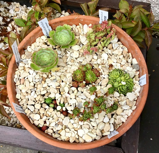 Sempervivum ssp globiferum 'Toska'