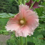 8702 First Hollyhock with fringed petals and it's peach pink!