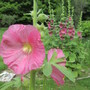 8701 Rose Pink Hollyhock