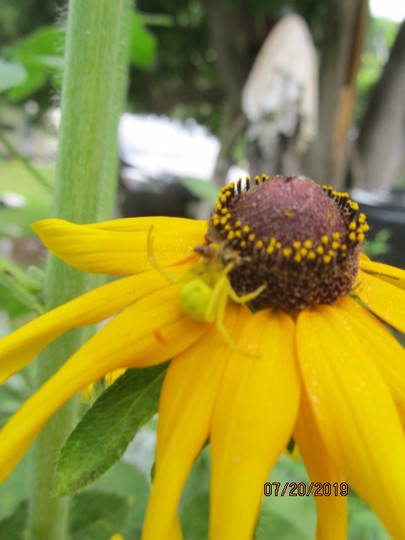 8707  a lurking spider on Rudbeckia