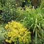 Another Yellow Heather - 'Yellow John' (Erica vagans (Cornish heath))