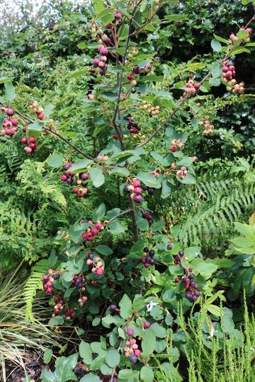 Amalanchier alnifolia 'Northline' Saskatoon Berry