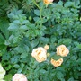 Patio_rose