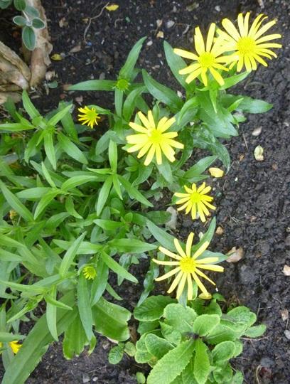 Buphthalmum salicifolium (Yellow Ox eye)