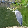 Heron seen at our local River Gardens Park today.