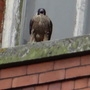 Peregrine seen on the mill today calling away.